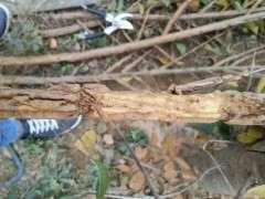 榆树下山桩的这个该怎么防治 图片