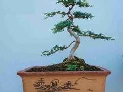刚蟠扎成型的一盆小榆树下山桩 图片