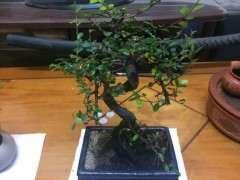 榆树下山桩新叶子怎么那么大 为什么