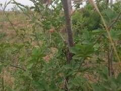 花皮榆树下山桩这个季节能挖吗 图片