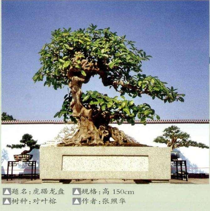 国内首个对叶榕树盆景 图片