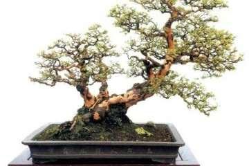 雀梅盆景怎么造型与养护的方法 图片