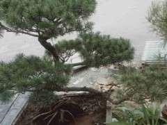 五针松下山桩的枝渐渐枯萎是怎么回事