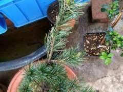 用什么土栽五针松下山桩最好 图片