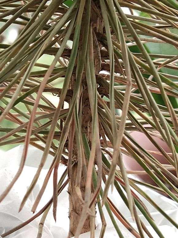 五针松下山桩怎么嫁接黑松的方法 图片