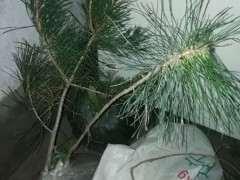 为什么五针松不带土栽 很难成活 图片