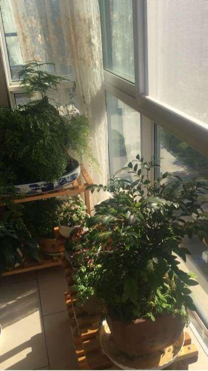 阳台如何养好大阪松下山桩的方法 图片