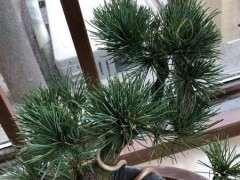 大阪松下山桩新叶有些发黄 怎么办 图片
