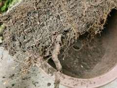 图解 五针松下山桩怎么翻盆换土的方法
