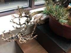 五针松下山桩的枝头枯萎 怎么办 图片
