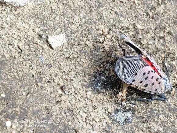 为什么蚂蚁能搞死黑松下山桩 图片