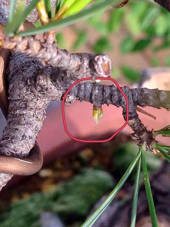 五针松下山桩逼芽后的效果 怎么样 图片