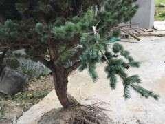 五针松下山桩移植1个月叶子发黄 怎么办