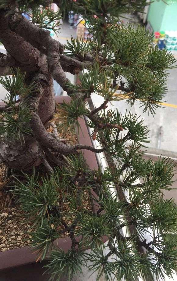 秋天五针松下山桩掉叶子 这是失枝吗
