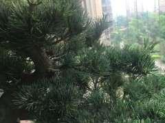 大阪松下山桩该怎么摘芽的方法 图片