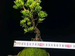 微拍里的千寿姬五针松下山桩 290元 图片