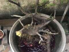 柏树下山桩用河沙种植 可以成活吗 图片
