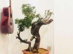 20厘米宽的柏树下山桩 树龄多少年 图片