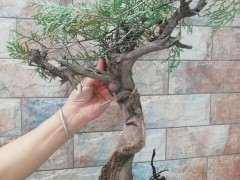 夏季种的柏树下山桩 可以成活吗 图片
