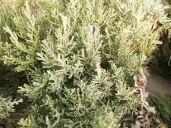 这是什么品种的柏树下山桩 适合做盆景吗
