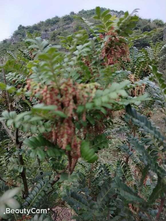 安徽地区能栽植清香木下山桩吗 图片