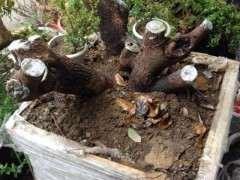 现在清香木下山桩3公分什么价格 图片