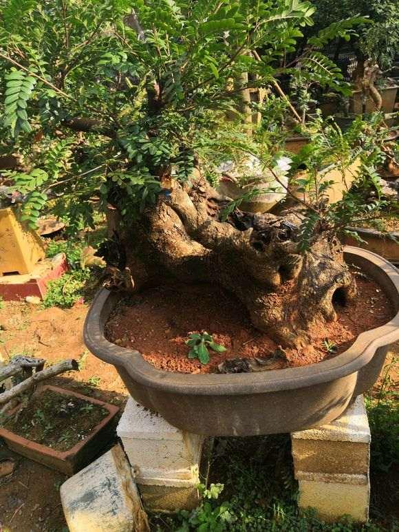 清香木下山桩一般多久可以发芽 图片
