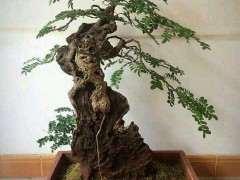 广西和云南的清香木下山桩  哪个好 图片