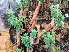 怎么缠膜栽培清香木下山桩的方法