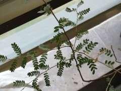 这是什么树 是清香木下山桩 图片