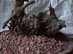 新挖清香木下山桩 160元 图片