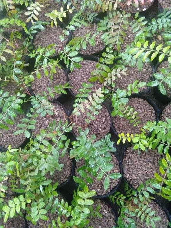 栽培清香木下山桩怎么用土的方法 图片