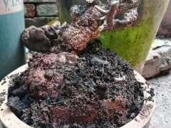 清香木下山桩怎么挖取种植的方法 图片