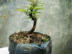 清香木下山桩怎么栽培的技术 图片