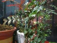 清香木下山桩发红芽了 怎么样 图片