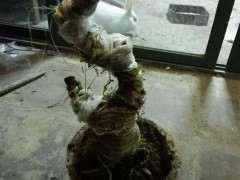 清香木下山桩怎么套袋发芽的方法 图片