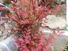 为什么清香木下山桩的新芽是红色 图片