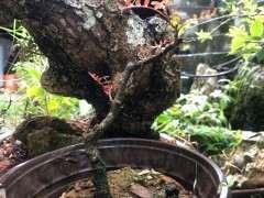 为什么清香木下山桩全都是红芽 图片