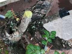 前几天挖的清香木下山桩发芽了 图片