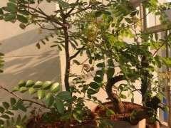 年前栽的清香木下山桩 还不来芽 怎么办