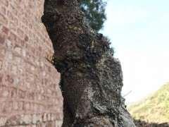 为什么清香木下山桩发芽是绿的 图片