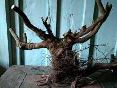 清香木下山桩的须根要剪掉吗 图片