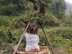 清香木下山桩直径70cm 价格9万6 贵吗