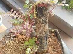 清香木下山桩发芽有好几个月了 图片