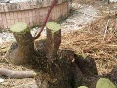 清香木下山桩的芽头发黑枯死 怎么救