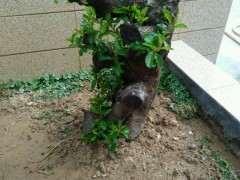 20斤的清香木下山桩可以地栽吗 图片