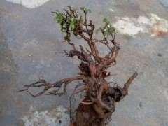 云南小叶羊蹄甲盆景下山桩 发芽了 图片