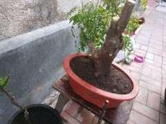 清香木下山桩移栽后怎么浇水 图片