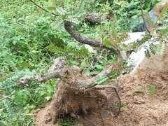 清香木下山桩1年了 换了控根器种 图片