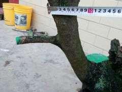花了一天半时间挖起的清香木下山桩 图片